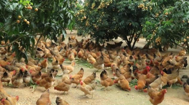 2019养10000只蛋鸡一年的利润有多少呢?