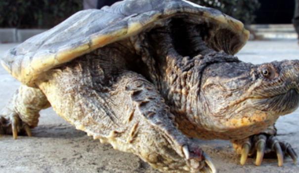 十斤鳄龟价格要多少?