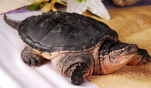 2020鳄鱼龟市场价格多少钱一斤呢?