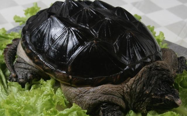 鳄鱼龟要怎么养才合理呢?