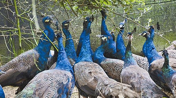 养殖孔雀失败有哪些原因?