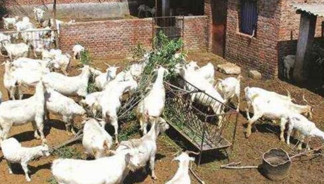 农村圈养100只羊一年的利润有多少?