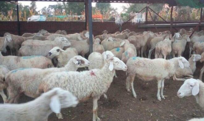 养10只母羊一年下来利润有多少呢?