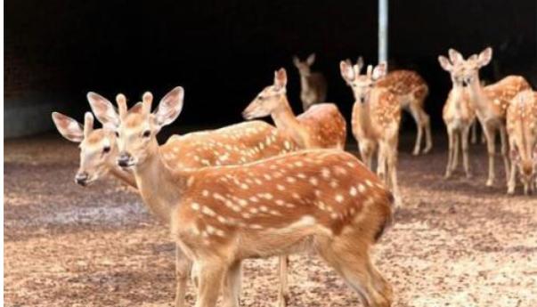 现在养鹿幼鹿卖多少钱一只呢?