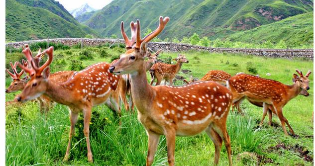 养鹿有什么风险呢?