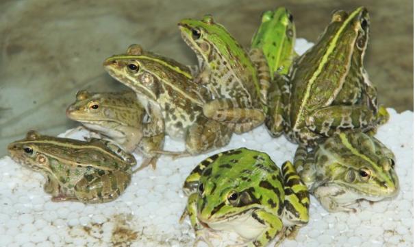 2020养青蛙的真实利润是多少?