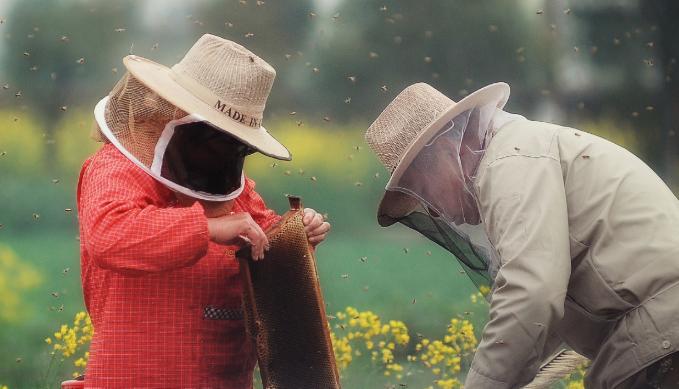 养100箱蜜蜂利润有多少呢?