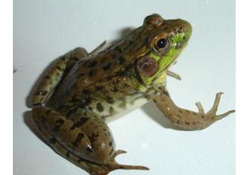 现在青蛙养殖是不是骗局吗?