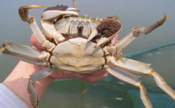 100亩地养螃蟹利润有多少?