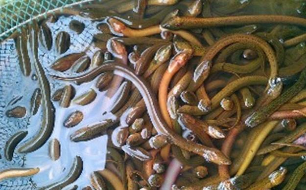 【黄鳝血壮阳】吃黄鳝可以壮阳吗?