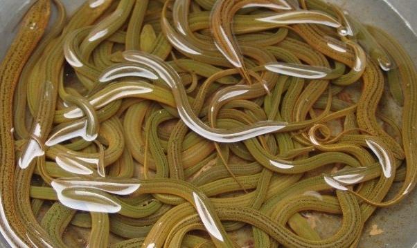 野生大黄鳝卖多少钱一斤呢?