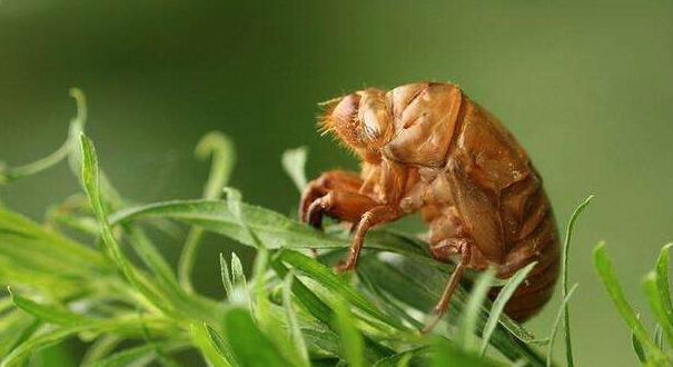 养殖一亩金蝉要多少斤呢?