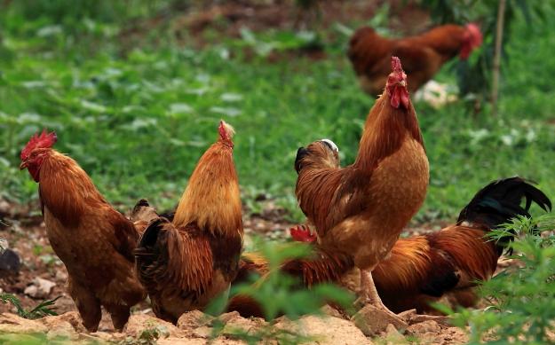 养3000只散养鸡的利润有多少呢?