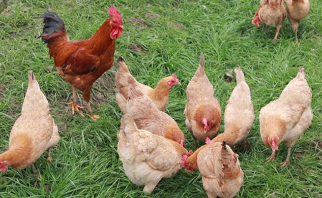 养鸡500只的利润有多少呢?