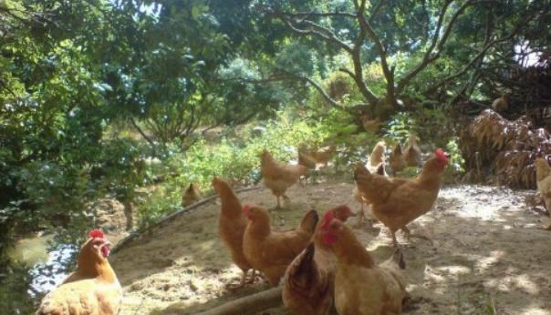林下养3000只鸡的成本和利润怎么样呢?