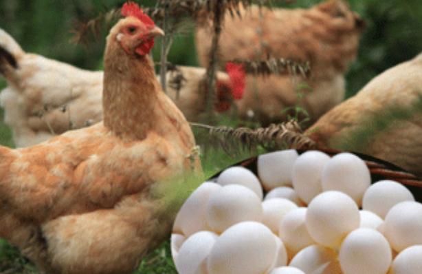 3000只蛋鸡养殖一年的利润有多少?