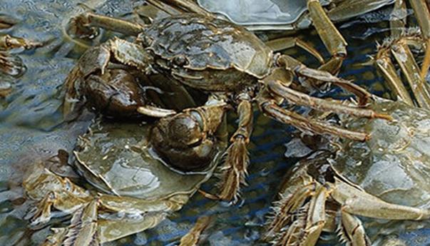 养殖十亩螃蟹养殖利润有多少?