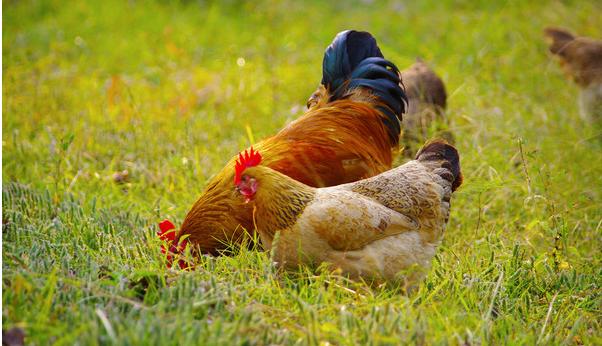 [林下养鸡3000只成本]林下养鸡成本多少?经济效益如何呢?