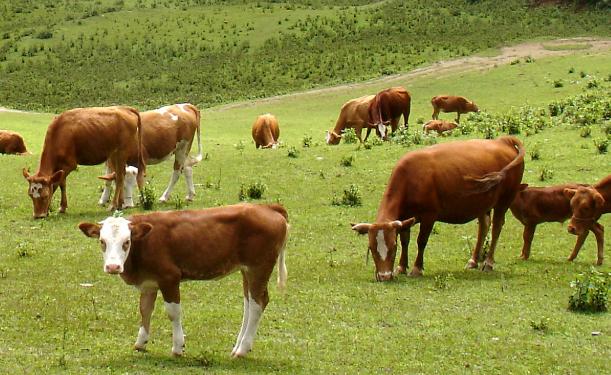 养殖养牛项目计划书|现在养牛养殖场地必要条件有哪些?