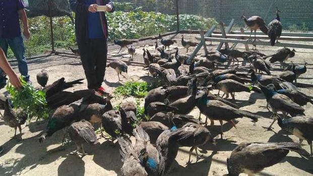 孔雀的正确养殖方法怎么样?
