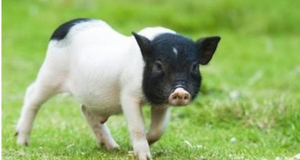 现在市场上一只小香猪卖多少钱呢?