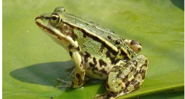 养殖青蛙养殖池如何建造呢?