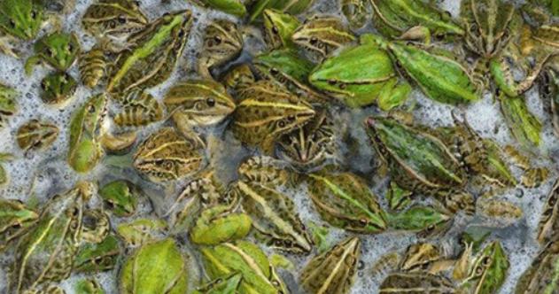 青蛙可以人工养殖吗?