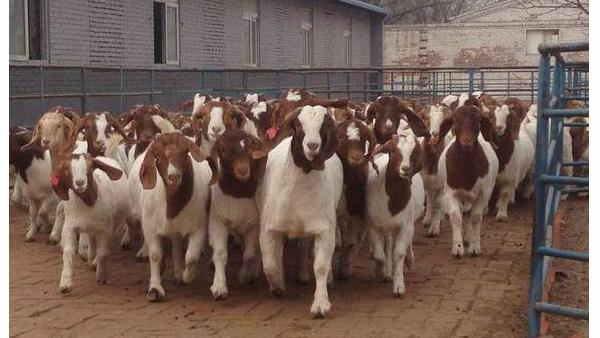 现在养羊政府所补贴得费用要走哪些程序申请呢?