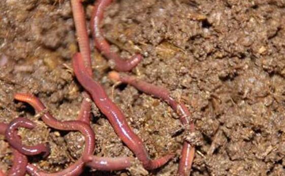 常见的蚯蚓养殖技术有哪些?