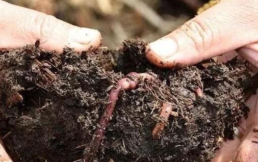 现在牛粪要怎么养殖蚯蚓?
