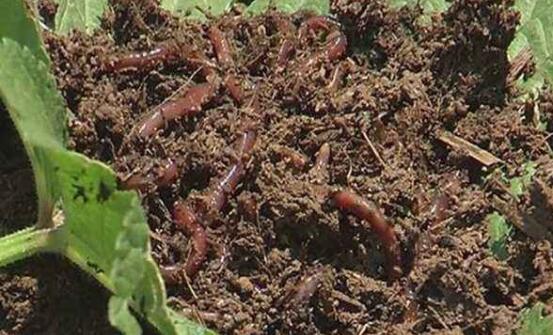 蚯蚓对植物有害吗?