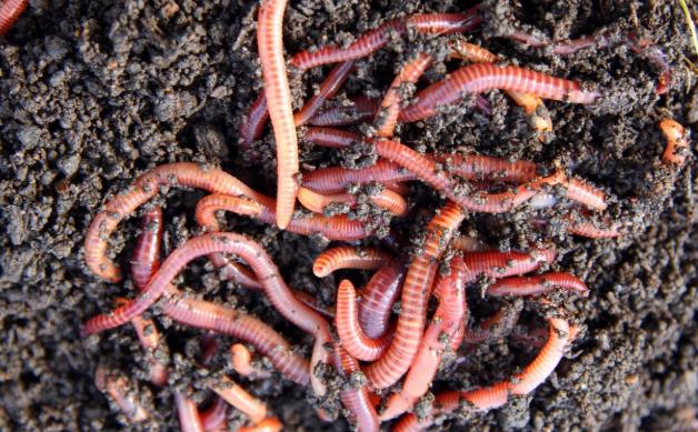 养殖蚯蚓最喜欢吃什么食物呢?
