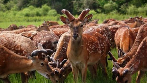 近几年养殖梅花鹿养殖风险大吗?养殖现状怎
