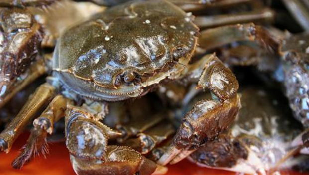 大闸蟹怎么养_新手如何养大闸蟹?新手会养大闸蟹吗?