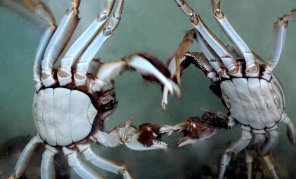 养殖大闸蟹需要满足各方面哪些条件呢?
