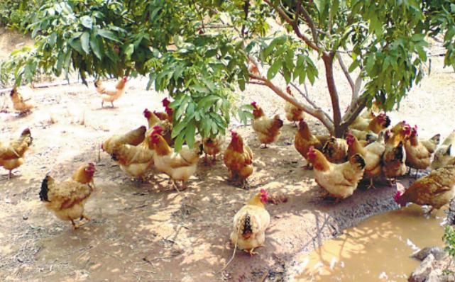 土鸡养殖靠下蛋赚钱吗?