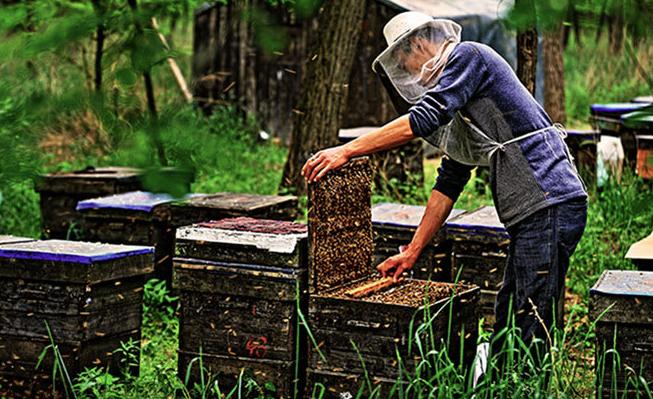 养蜂人工怎样分蜂呢?