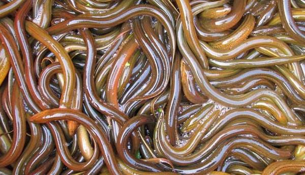 养殖20亩田的黄鳝有多少利润 ?