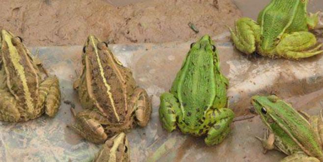 2019养殖青蛙有前景吗?