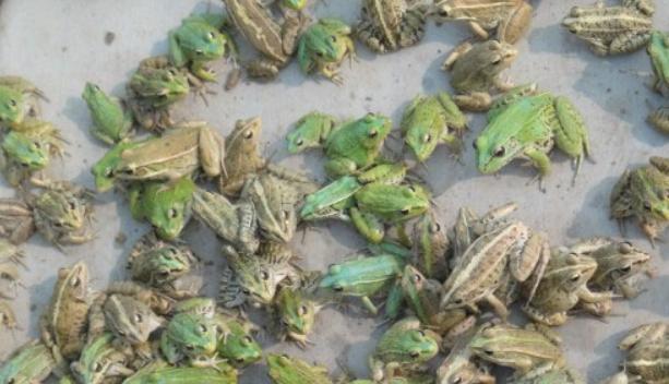人工饲养青蛙容易吗?养殖售卖价格怎么样?