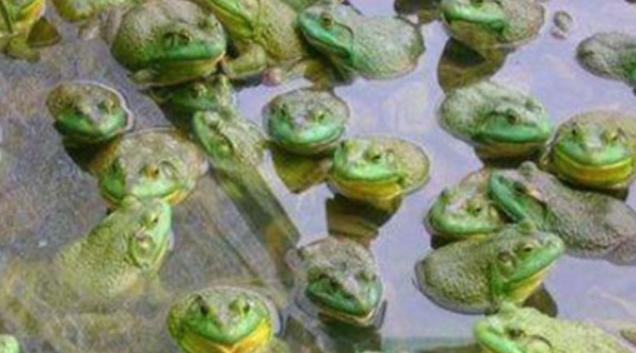 青蛙养殖技术要点?难在哪里?