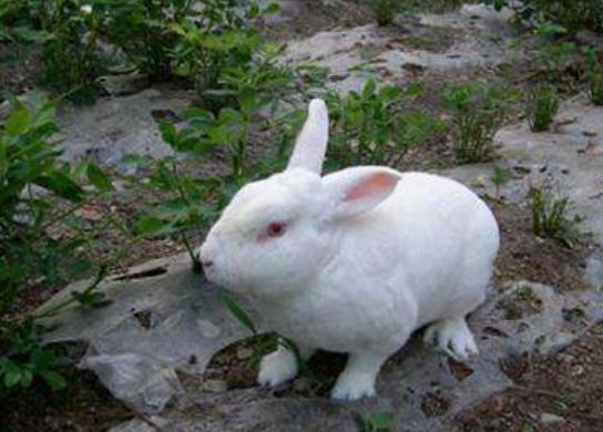 獭兔养殖赚钱吗?注意事项有哪些