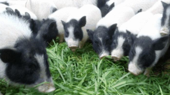 养10头香猪一年赚多少钱呢?