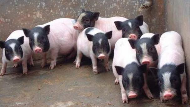 养殖香猪前景可好?