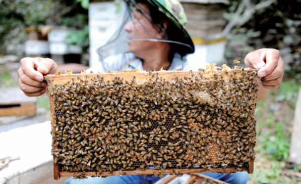 养殖蜜蜂一年的中蜂可以繁殖几群幼蜂呢?