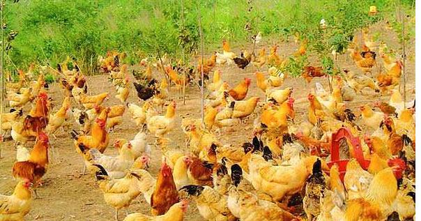 散养一千只土鸡养殖利润多少?