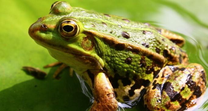 养殖青蛙前景比较好的几种蛙类是那些?