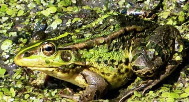 人工饲养青蛙喂什么?