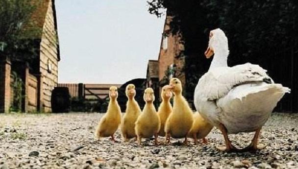 第一次养鸭怎么养?