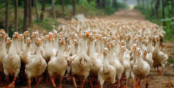 养殖蛋鸭赚钱吗?未来养殖还有前景吗?